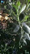 オリーブの新芽!